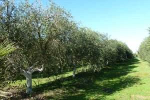 Olive Farm, Spain