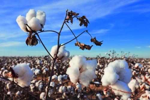 Cotton Fields, Texas