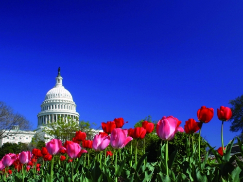 United States Capital in the Spring with tulips blooming in front